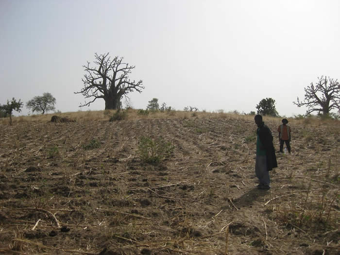 Survey close to Gouroubéri, February 2011. Large baobab trees such as those visible in the background often mark old villages.